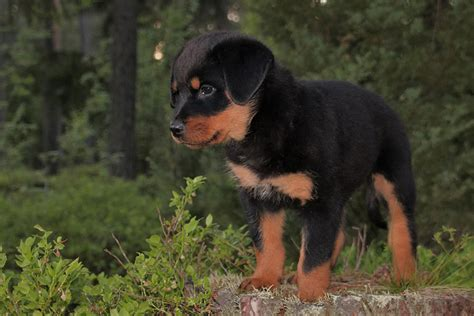 rottweiler markings the rottweiler the happy puppy site