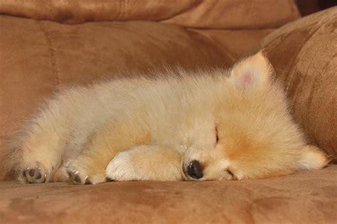 golden pomeranian puppies golden pomeranian puppy in sleep jpg 1 comment hi res 720p hd