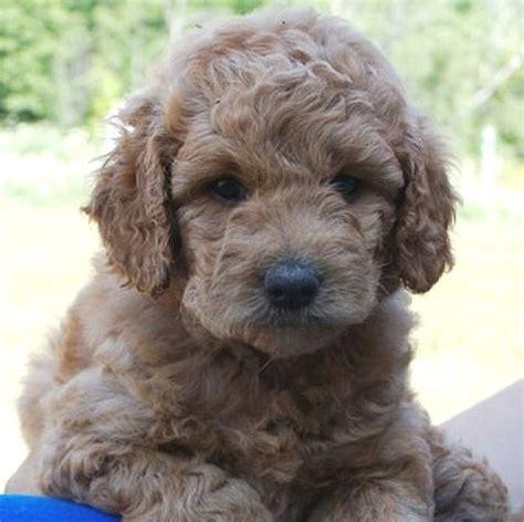doodle puppies for sale lindsay adorable puppy labra goldendoodles help