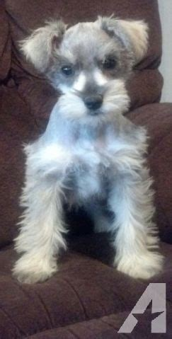 schnauzer puppies for sale in alabama adorable ckc registered miniature schnauzer puppies for sale in fort payne alabama