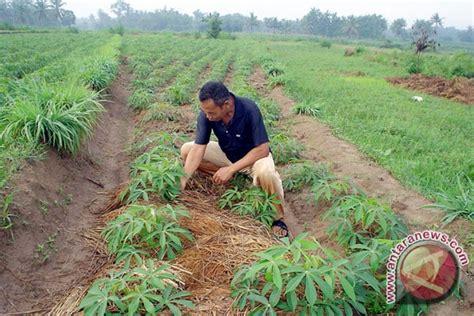 Jual Polybag Jakarta Barat petani lung timur tanam singkong antara news lung