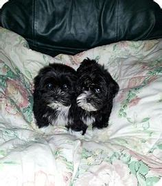 havanese poodle breeders bc dogs need to be adopted havanese cotons maltese poodles e