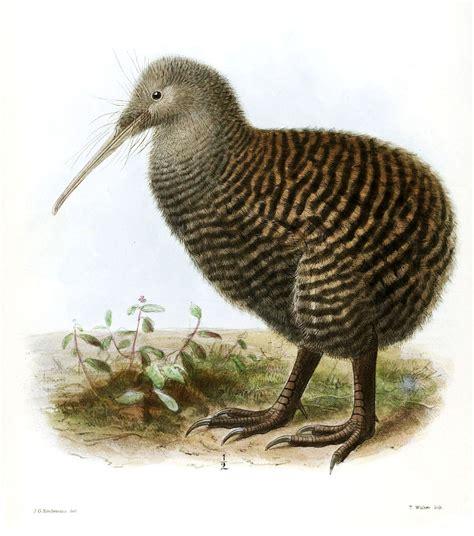 Great spotted kiwi   Wikipedia