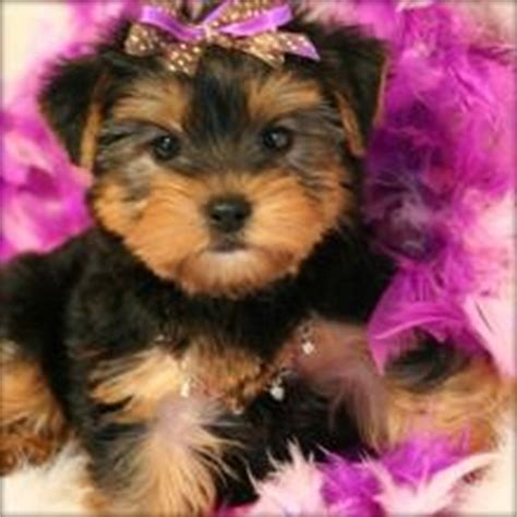 affordable teacup yorkies dogs chicago il free classified ads