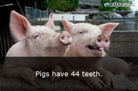 25 weird animal facts about pigs raiseyourbrain.com