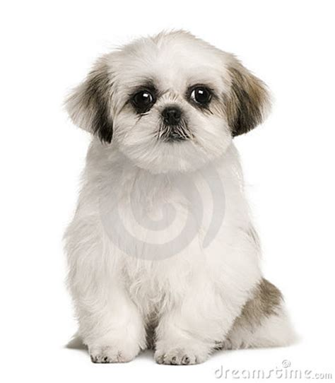 how to my shih tzu puppy to sit shih tzu puppy 4 months sitting stock photos image 12485613