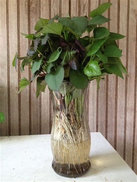 Plants That Grow In Water Vases by Sweet Potato Plants In A Vase Plant Company Llc