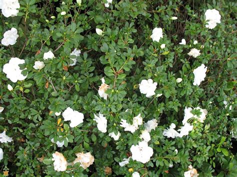 Gardenia Shrub Hardy Gardenia Azalea The Petal Power The