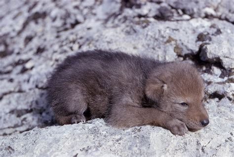 coyote puppy file coyote pup jpg wikimedia commons