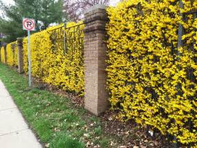 an entire wall of yellow flowering forsythia in hedge form