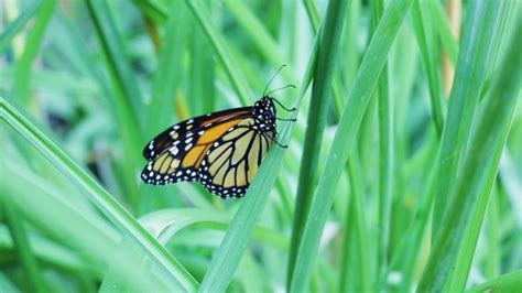 usda effort aims to enhance monarch butterfly food sources