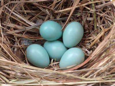 british birds' eggs british bird lovers