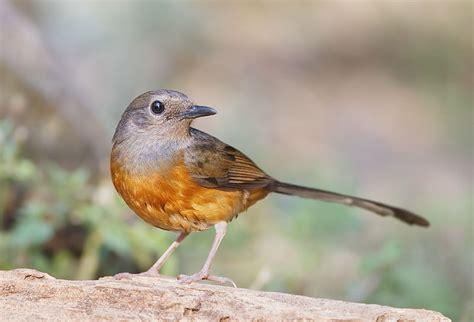 Kroto Kalimantan irman kurniawan burung murai batu