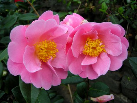 camellia pink icicle carolyn s shade gardens