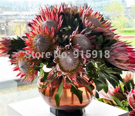 Jual Biji Bunga Matahari Merah bunga matahari biji benih bliblinews