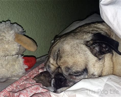 bed pugs sharing a bed with pug this pug life