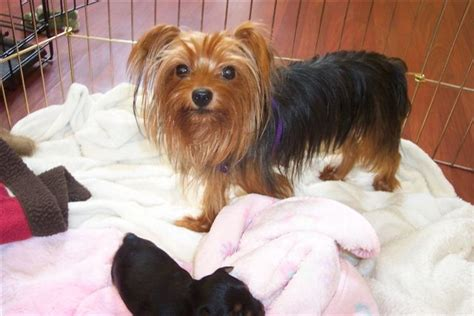 how much are yorkie puppies worth yorkie puppies for sale classified ads buy and sell listings houses city data forum