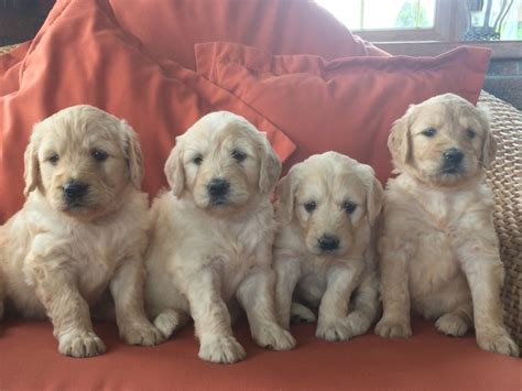 retriever doodle puppies for sale stunning goldendoodle puppies for sale ebbw vale