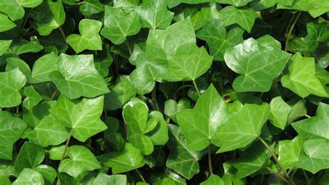 english ivy english ivy related keywords suggestions english ivy