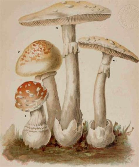 student s book of mushrooms of america edible and poisonous classic reprint books genus