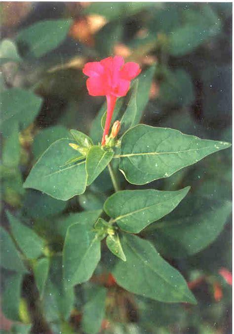 Bijibenihbibit Bunga Mirabilis Jalapa Ungu 1 tanaman obat dan penyakit si momot