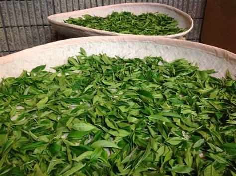 Teh Pucuk Yang Besar daun yang sama rasa yang berbeda
