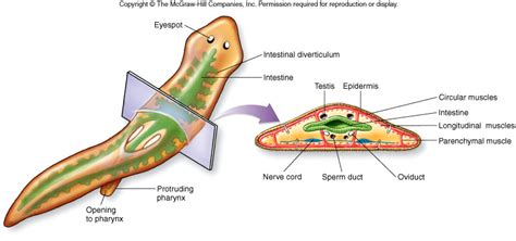diagram of platyhelminthes image gallery platyhelminthes anatomy