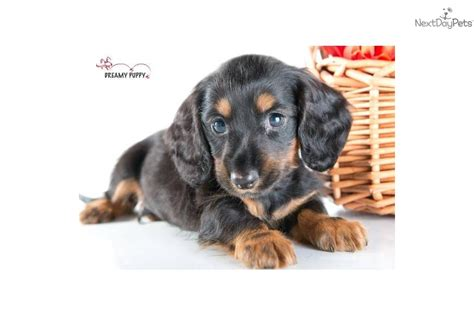 puppies for sale in washington dc miniature dachshund puppies for sale washington dc