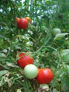 notes on growing tomatoes 171 four string farm