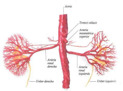 cadenas musculares miembro superior pdf imagenes de aorta arteria