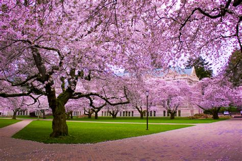 trees images cherry blossom tree hd wallpaper and