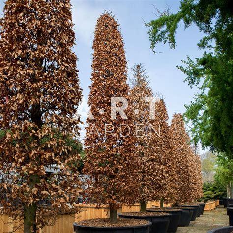 gros coussin exterieur 350 fugus sylvatica purpurea grand arbre r 233 sistant pour