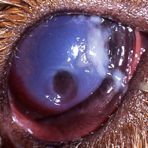 ulcers in dogs image gallery stromal ulcers