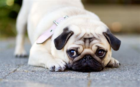 great names for pugs great pug wallpaper hd pictures