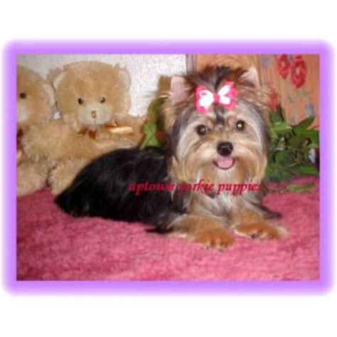 yorkie rescue oklahoma city terrier yorkie breeders and kennels freedoglistings page 2