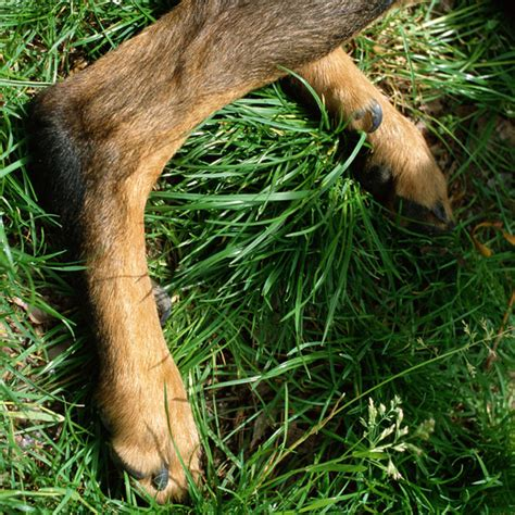dew claw beauceron dew claws breeds picture