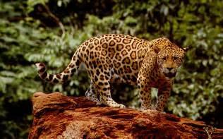 Is A Jaguar A Mammal Jaguar Animal Wallpaper