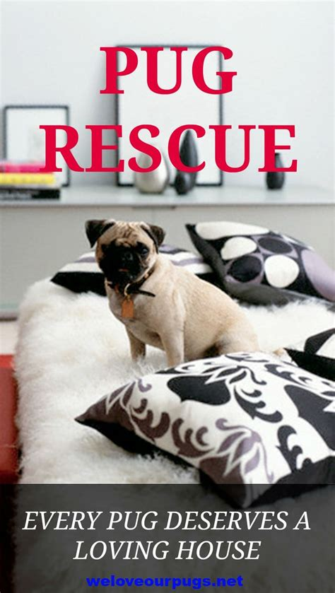 adopt a pug 17 best images about pet trends your of pugs on for dogs