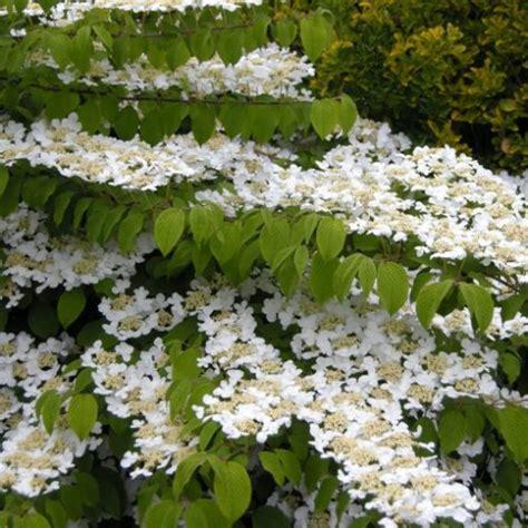 viburno in vaso viburnum plicatum quot lanarth quot vaso 216 24cm vendita piante