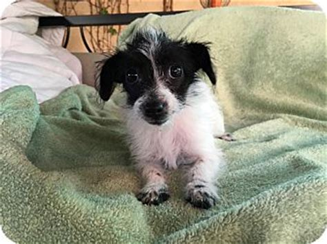 maltese in chinese prudence adopted puppy la verne ca maltese chinese