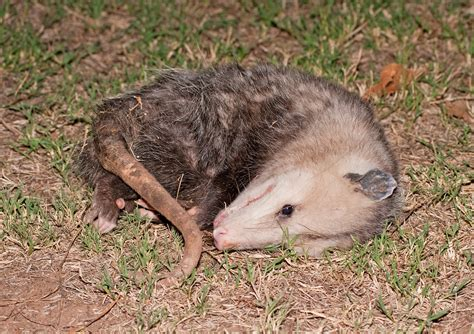 Possum In Backyard by Animal Decomposition Waste