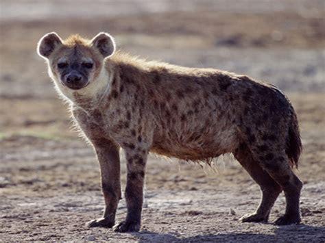 is a hyena a hyena animal wildlife
