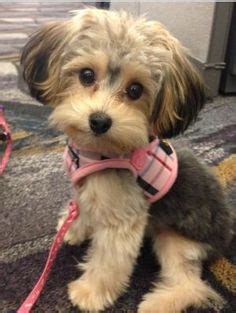 yorkie pomeranian mix hair cuts morki poo puppies these are our adorable babies hank is