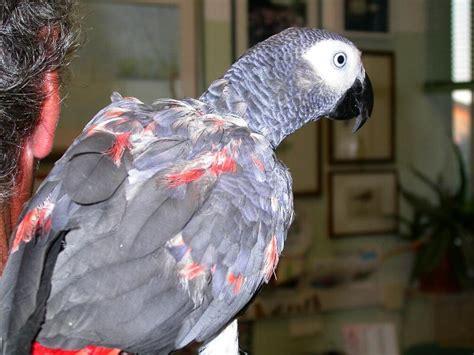 pappagallo cenerino alimentazione i segni di malattia negli uccelli