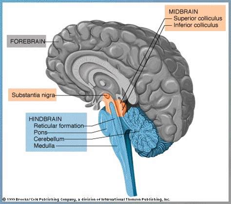 diagram of forebrain the invigorated mind neuropsychology basics for those