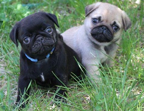 puppies for sale in grand rapids mi pug puppies for sale near grand rapids mi within 100