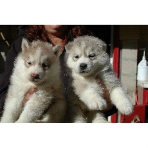 siberian husky puppies for sale in nh seraphic siberians siberian husky breeder in barrington new hshire