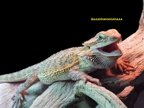Laughing Lizard Meme - laughing lizard wrex laughing lizard hhhehehe know your