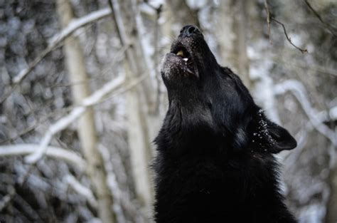 Wolf Howl Mountain Wolves snow winter howling dogs yarrow photography