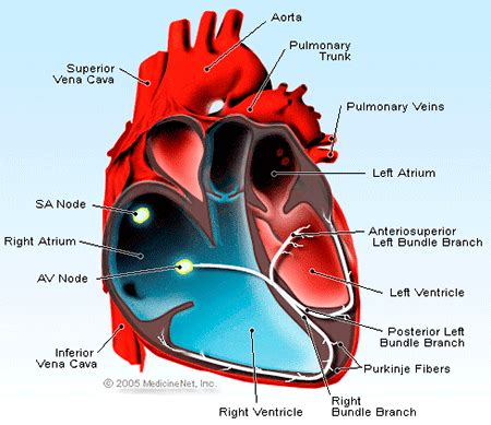 right meaning definition of right atrium
